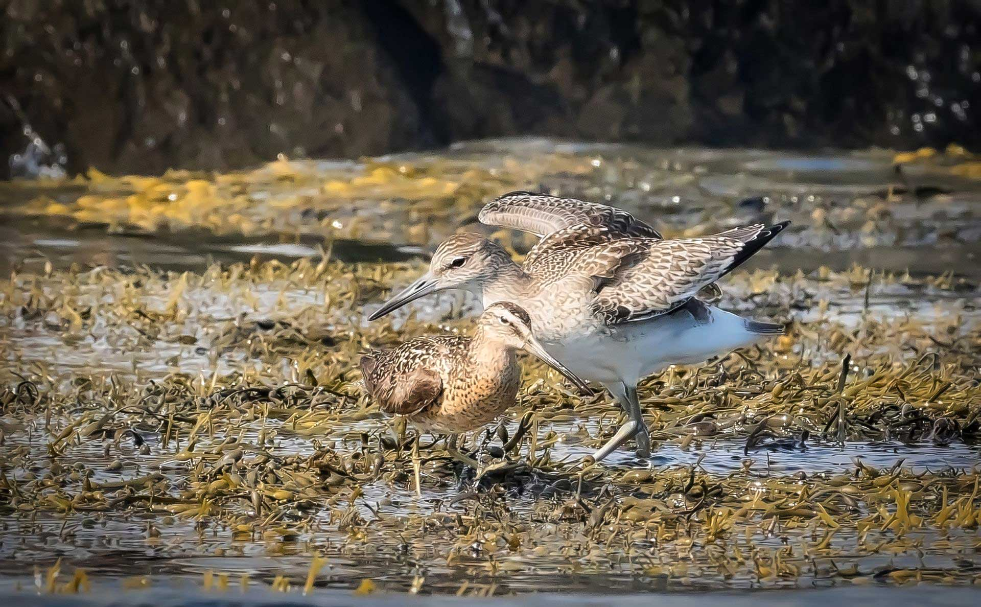 Willet and Dowitcher feeding in the Rockweed