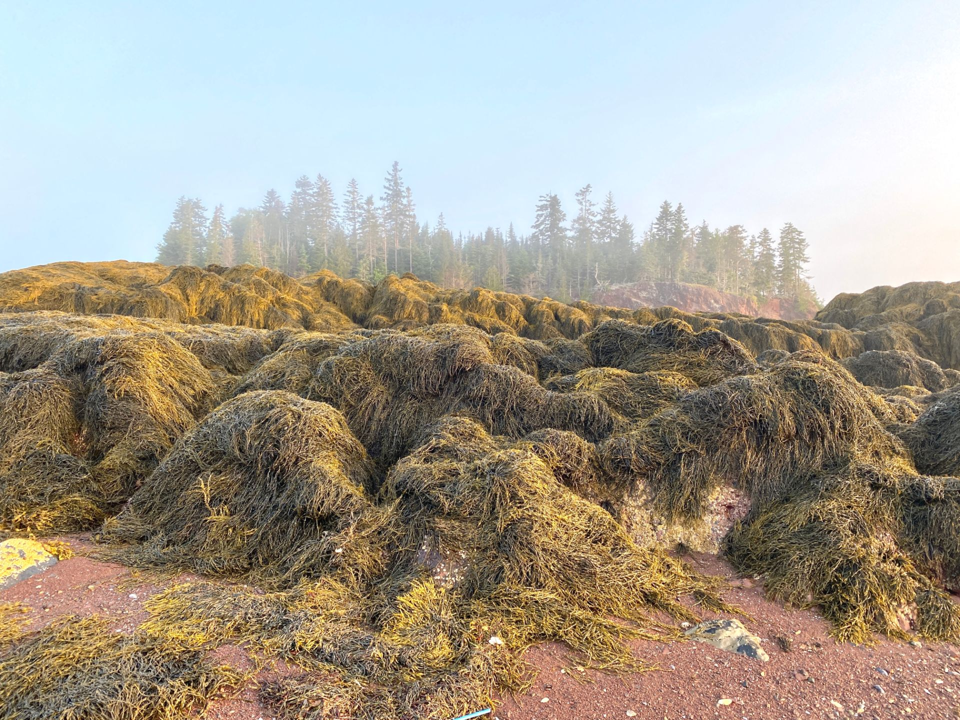 Rockweed at low tide